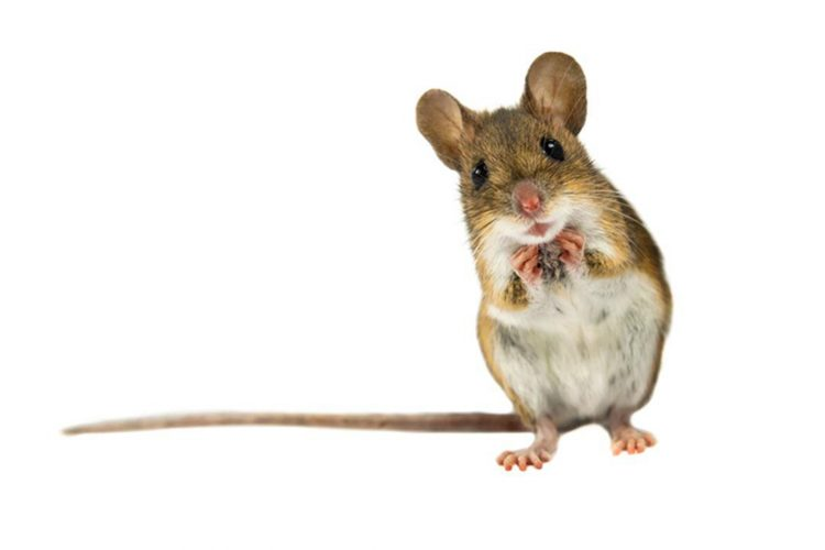 rat, food addiction