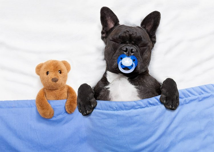 a black dog and a teddy bear sleeping on white bed covered in blue flat sheet, recovery